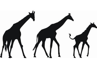 Naklejka na ścianę Żyrafy 1057